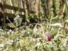 Cardamine des près et Fritillaire pintade Zone humide Berges de Garonne
