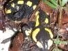 Salamandre - Beautiran